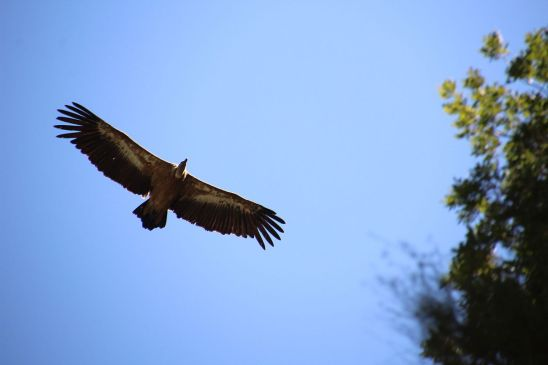 "Photo Credit: ""Vulture's Freedom"" by Alvarog v99 - Own work. Licensed under CC BY-SA 4.0 via Wikimedia Commons - https://commons.wikimedia.org/wiki/File:Vulture%27s_Freedom.JPG#/media/File:Vulture%27s_Freedom.JPG"